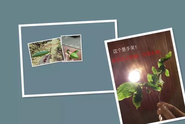 武夷岩茶大红袍制作过程