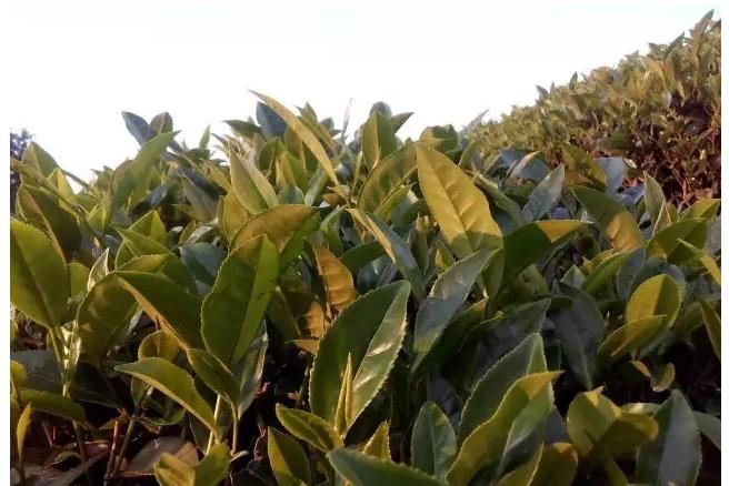 我国茶叶发展趋势分析