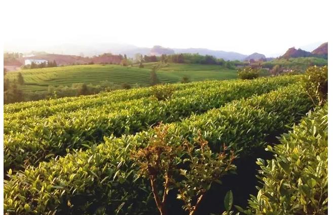 互联网对中国茶叶行业的机遇挑战与应对策略